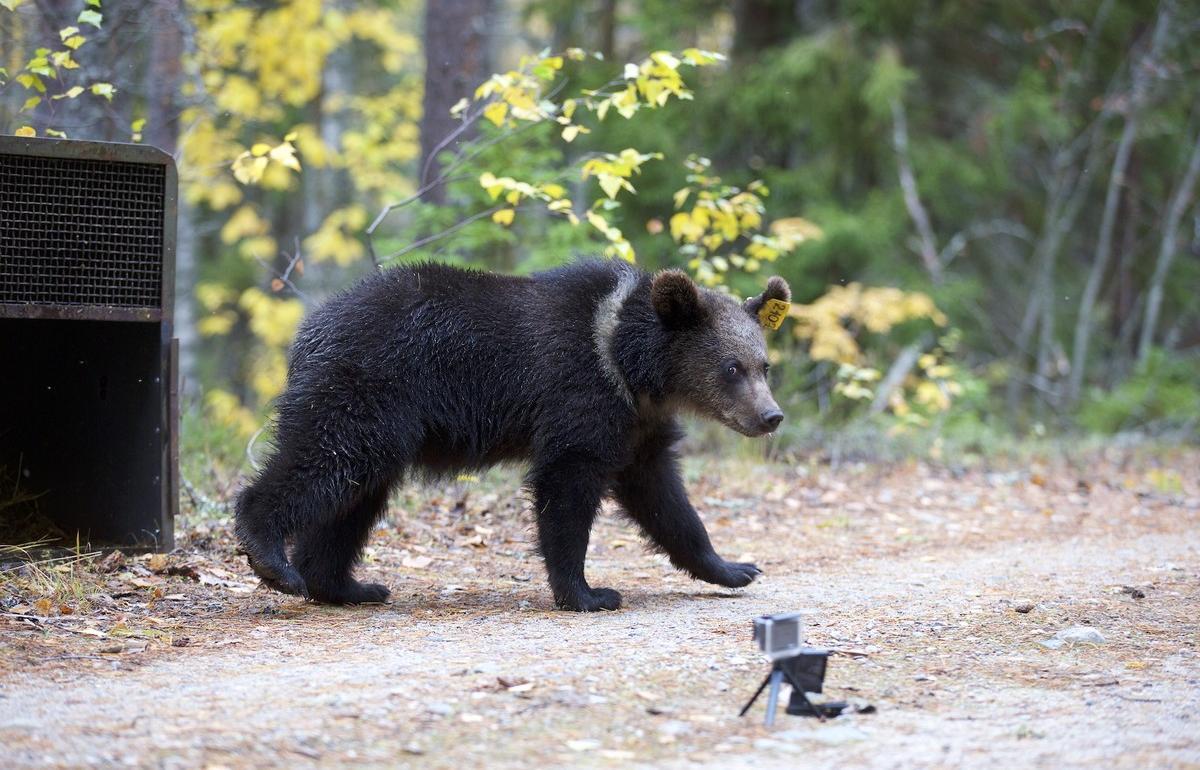 Карельские медвежата Савва и Северина вернулись в родные леса - новости Афанасий