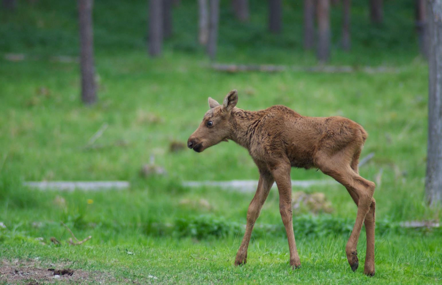 Лосенка, который забежал в центр Твери, вернули в лес - новости Афанасий