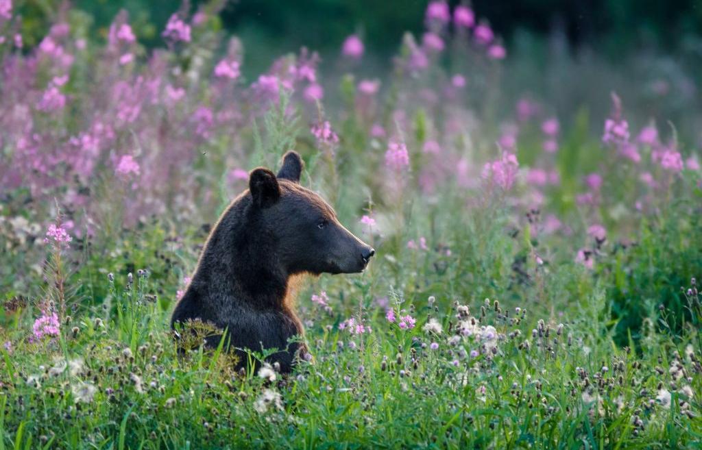 Медведь гуляет между Тверской и Московской областями - новости Афанасий