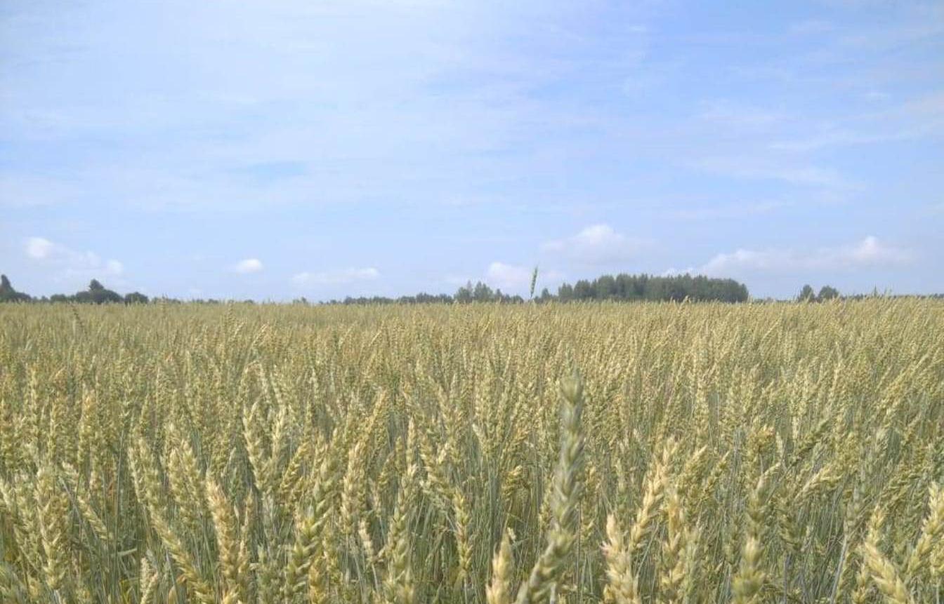 50 гектаров полей пшеницы «Бежецк–Агро» проверил Россельхознадзор - новости Афанасий