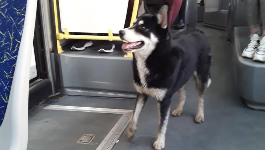 В Твери пес ищет хозяина в городских автобусах - новости Афанасий