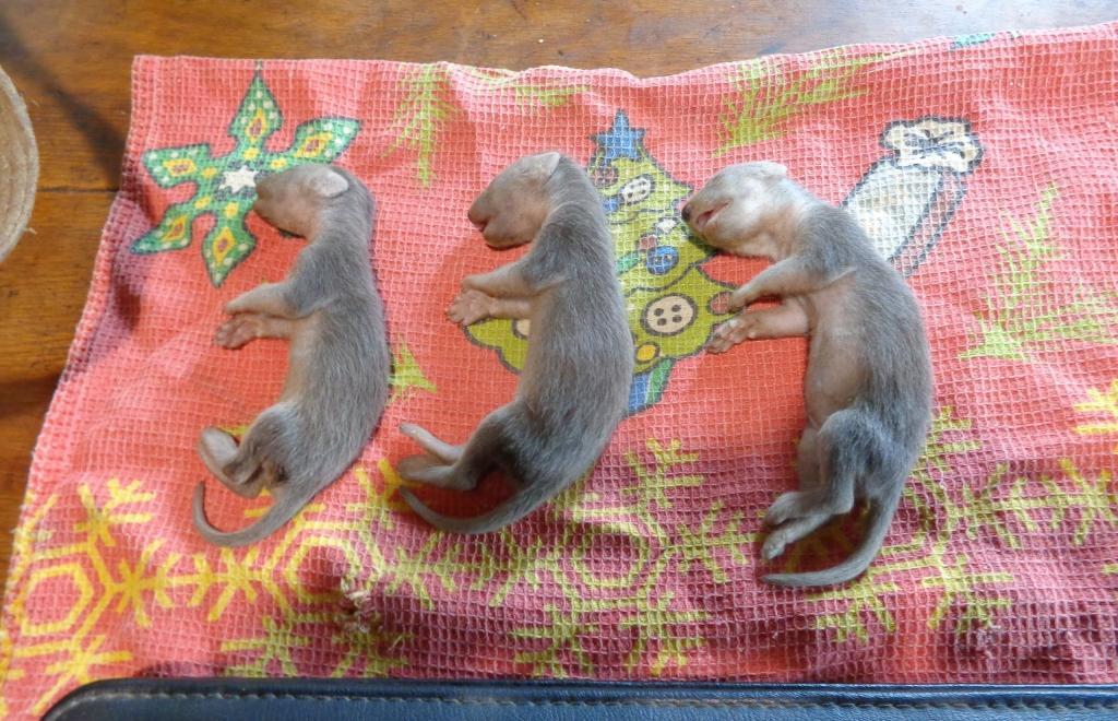 Центр реабилитации диких животных рассказал о спасении детеныша куницы в Тверской области - новости Афанасий