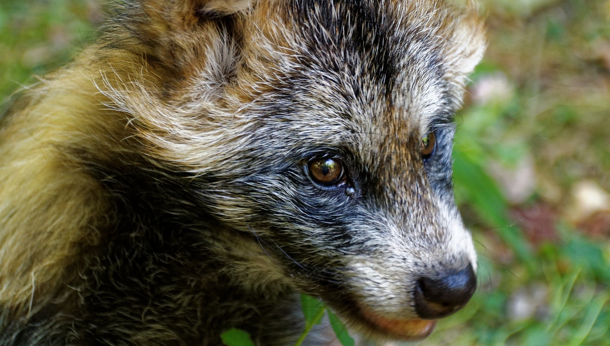 В Тверской области обнаружена бешеная енотовидная собака - новости Афанасий