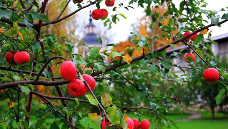 Яблоня стала зеленым символом Тверской области