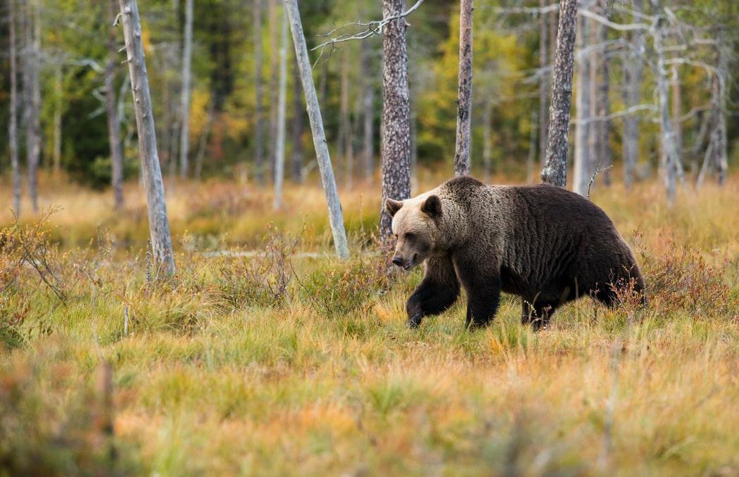 В Тверской области участились случаи выхода медведей к населенным пунктам - новости Афанасий