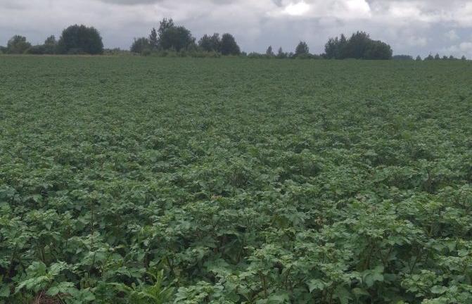 В Тверской области продолжается обследование картофельных полей - новости Афанасий