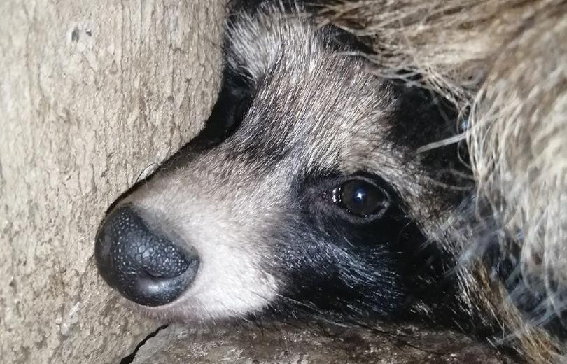 В Твери волонтеры собирают средства для спасенных из подвала енотовидных собак - новости Афанасий