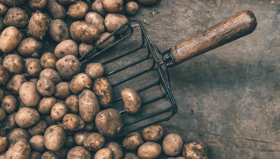 Как избежать большой опасности при выращивании картофеля
