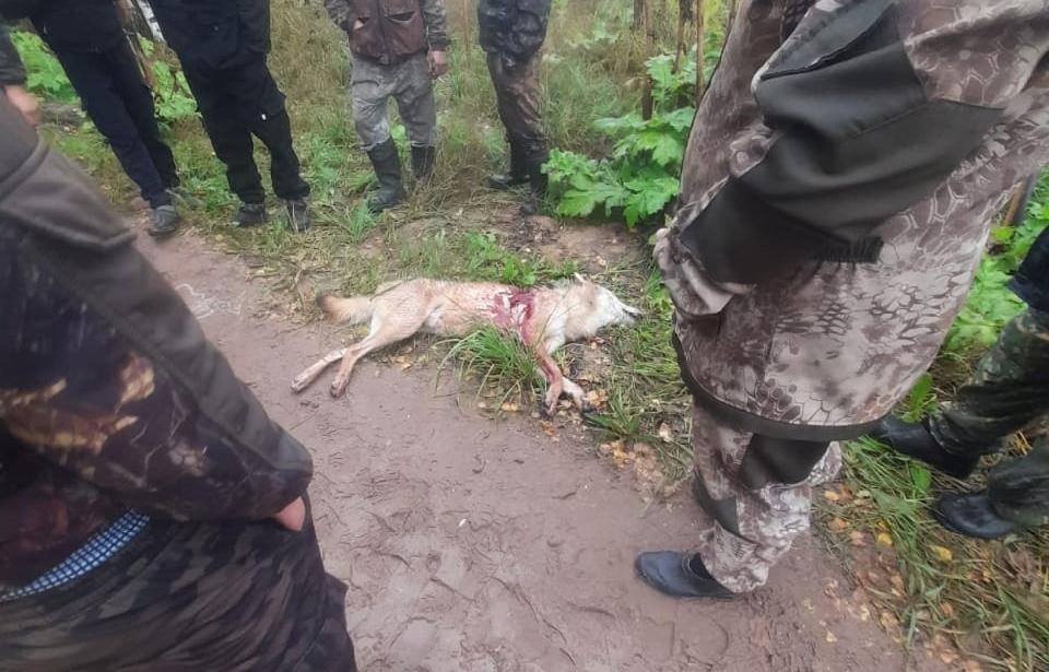 В Тверской области будут отстреливать волков после ранения нескольких людей - новости Афанасий