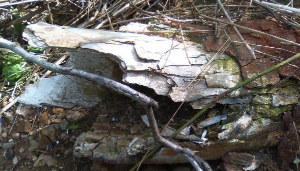 В Тверской области обнаружили останки мамонта, которого назвали Вадимом