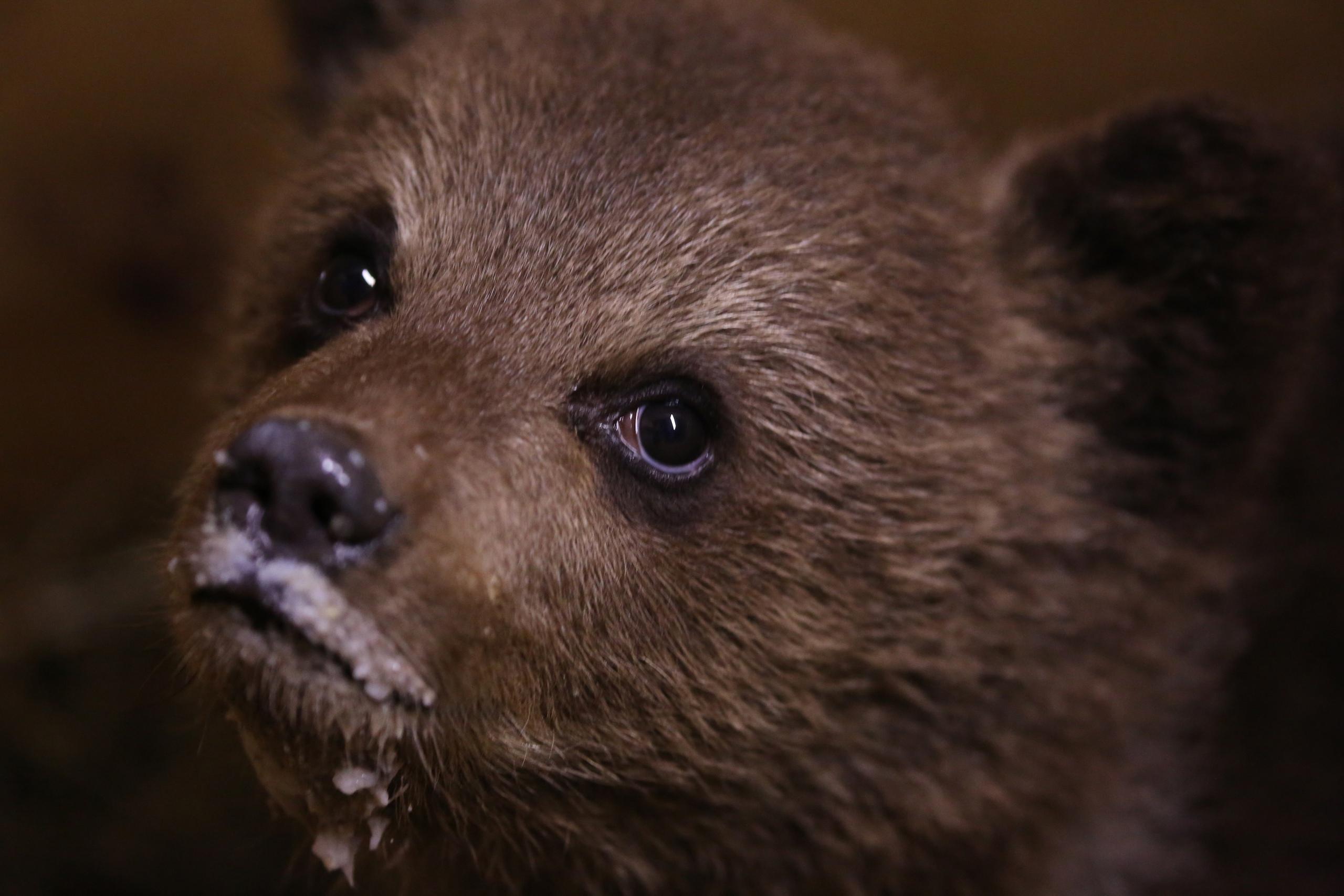 Пажетновым в Тверской области привезли еще одного медвежонка - его нашли на помойке