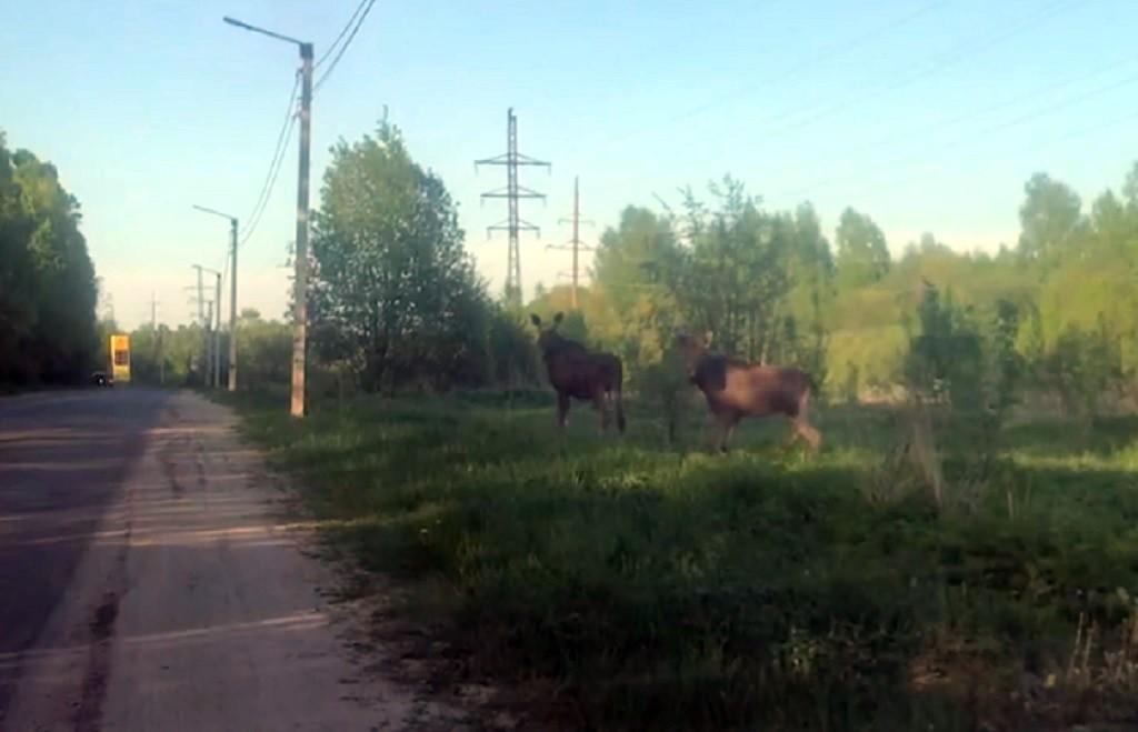В Кимрском районе лоси выходят на дороги и гибнут в ДТП | Видео