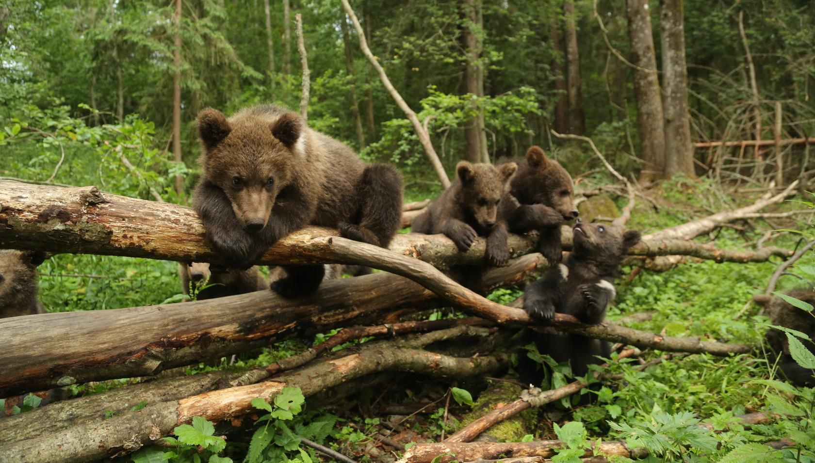 Жители Тверской области могут помочь проекту по спасению медвежат-сирот получить премию «Хрустальный компас» - новости Афанасий