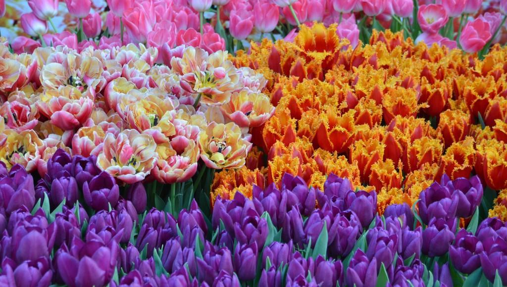 Жителей Твери ждут на выставке-продаже тюльпанов - новости Афанасий