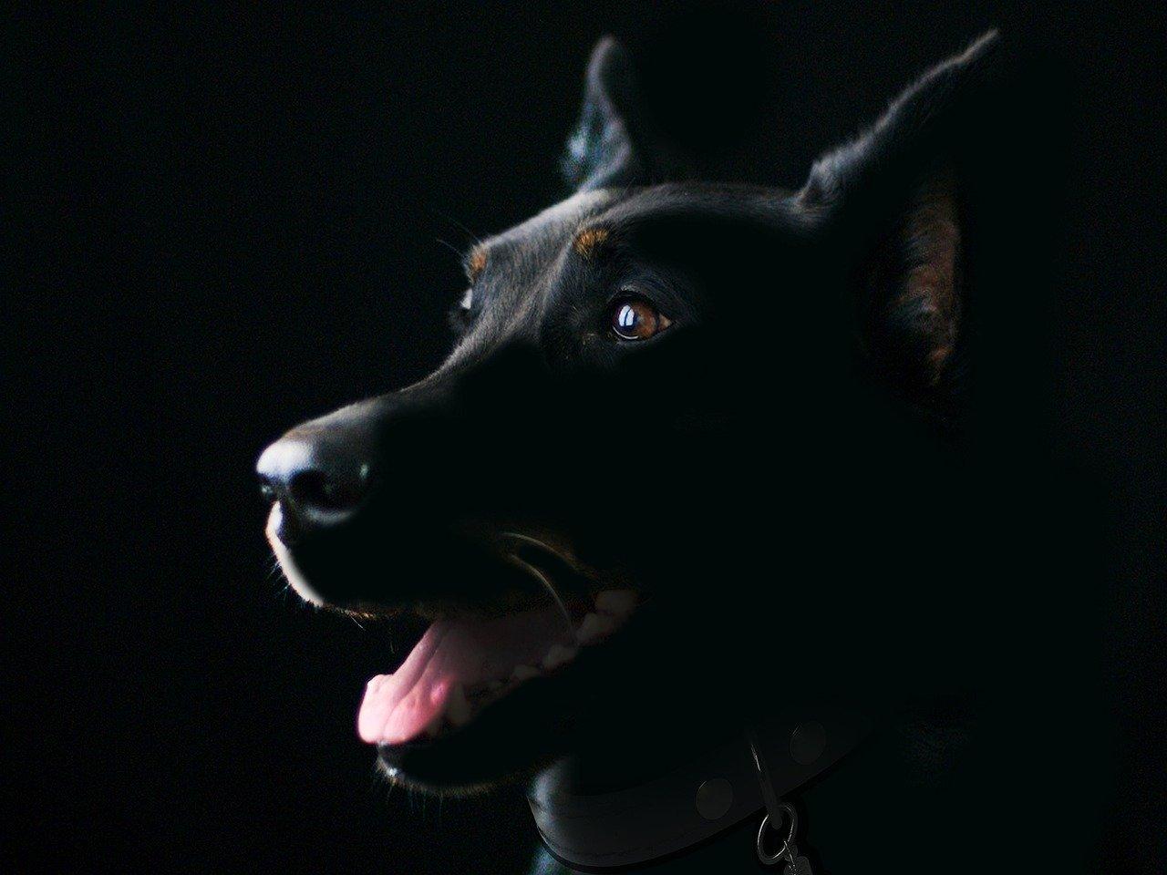 В Тверской области следователи проверяют информацию о нападении собаки на женщину - новости Афанасий