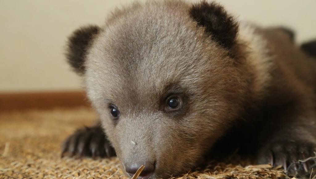 В Центре спасения медвежат-сирот в Тверской области скоро появятся новые подопечные - новости Афанасий