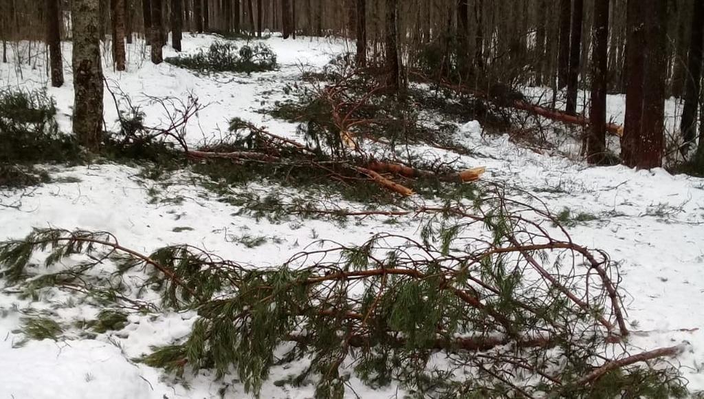 В Лихославльском районе Тверской области повалило сосны в охраняемой лесопарковой зоне - новости Афанасий