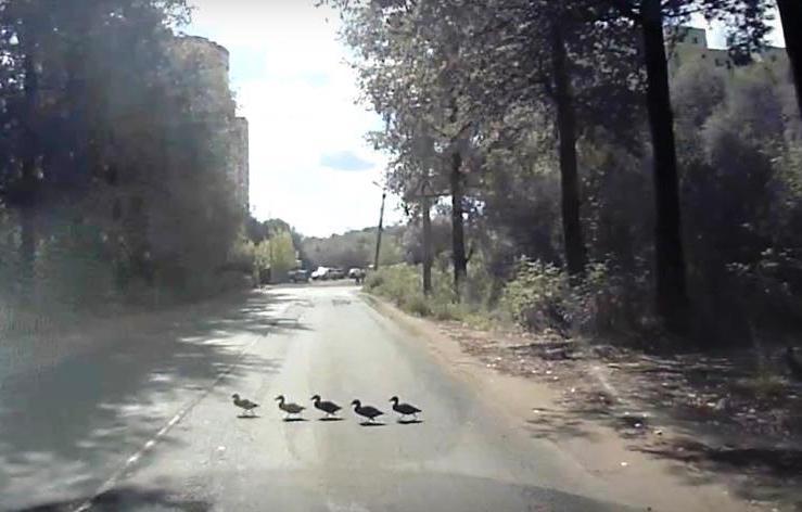 Утиные истории-2020. Житель Твери снял на видео, как утята переходят городскую дорогу - новости Афанасий