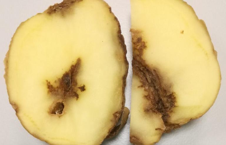 В Тверской области отменяют карантин по картофельной нематоде - новости Афанасий
