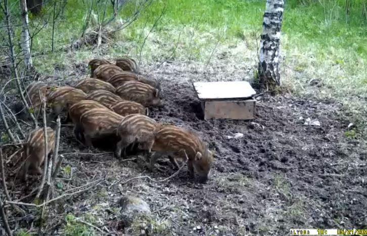 Диких кабанчиков сняли в торжокских лесах - новости Афанасий