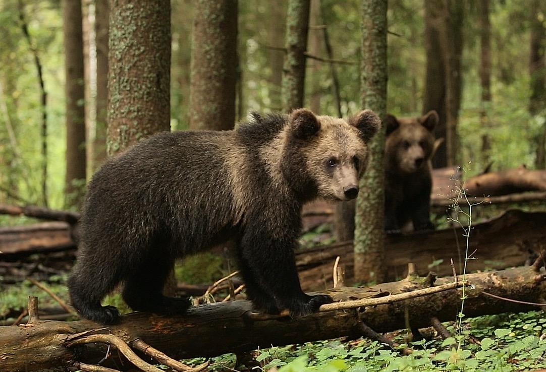 Центр спасения медвежат в Тверской области готовится выпустить своих подопечных во взрослую жизнь - новости Афанасий