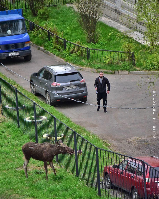 В Твери лось бегал по двору многоэтажки