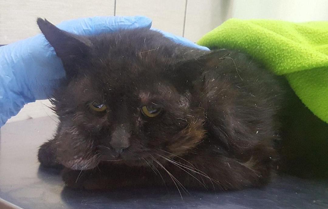 В Тверской области просят помощи для «тяжелых» котов - новости Афанасий