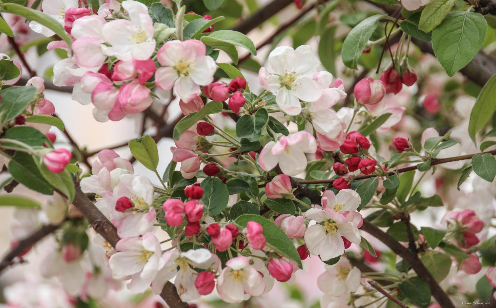 В центре Твери зацвели декоративные яблони