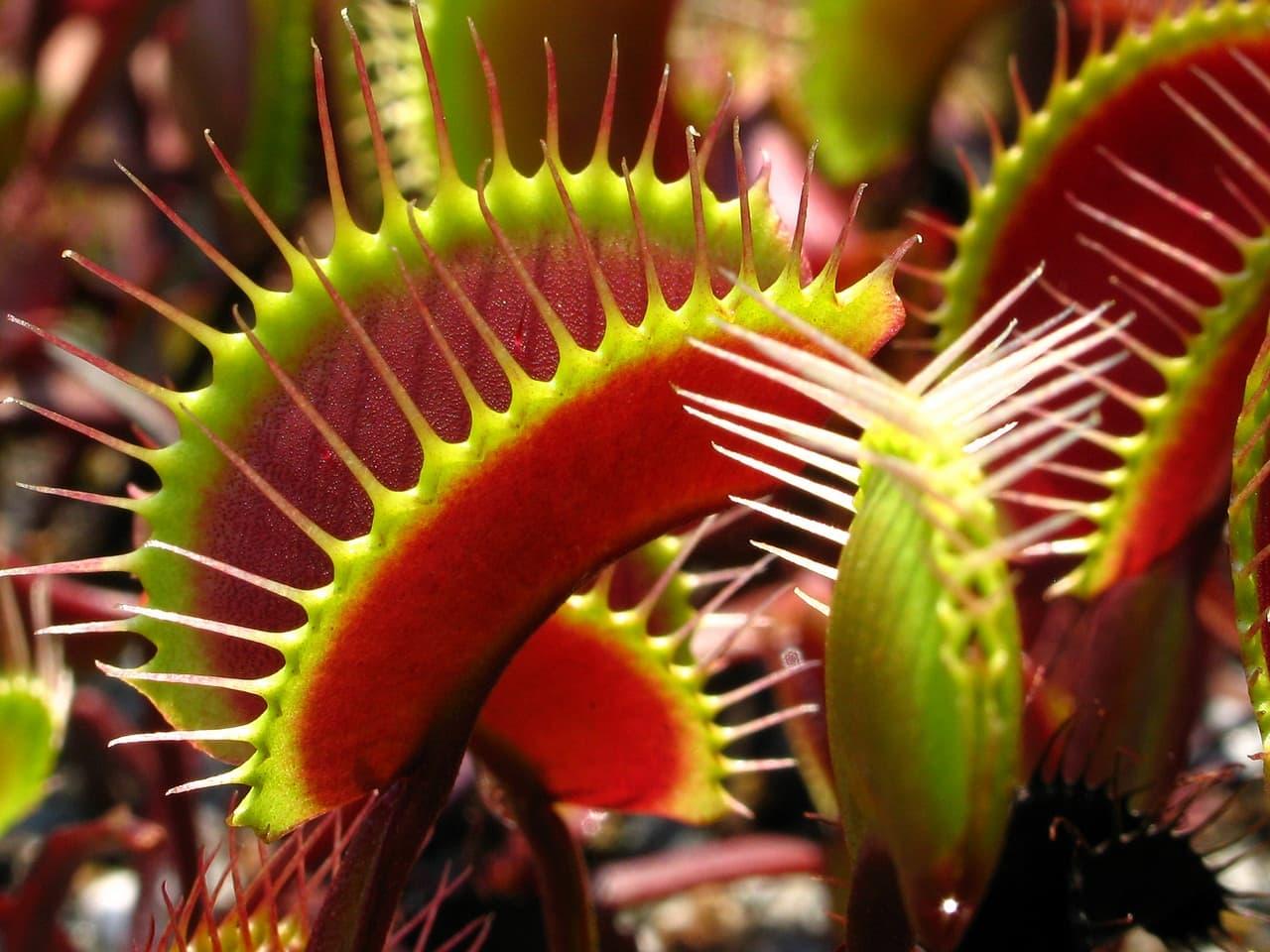 В Твери откроется выставка хищных растений