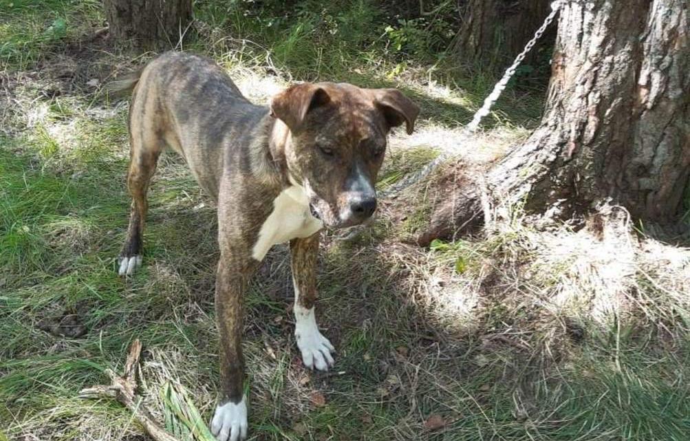 В Тверской области хозяева посадили пса на цепь и бросили - новости Афанасий