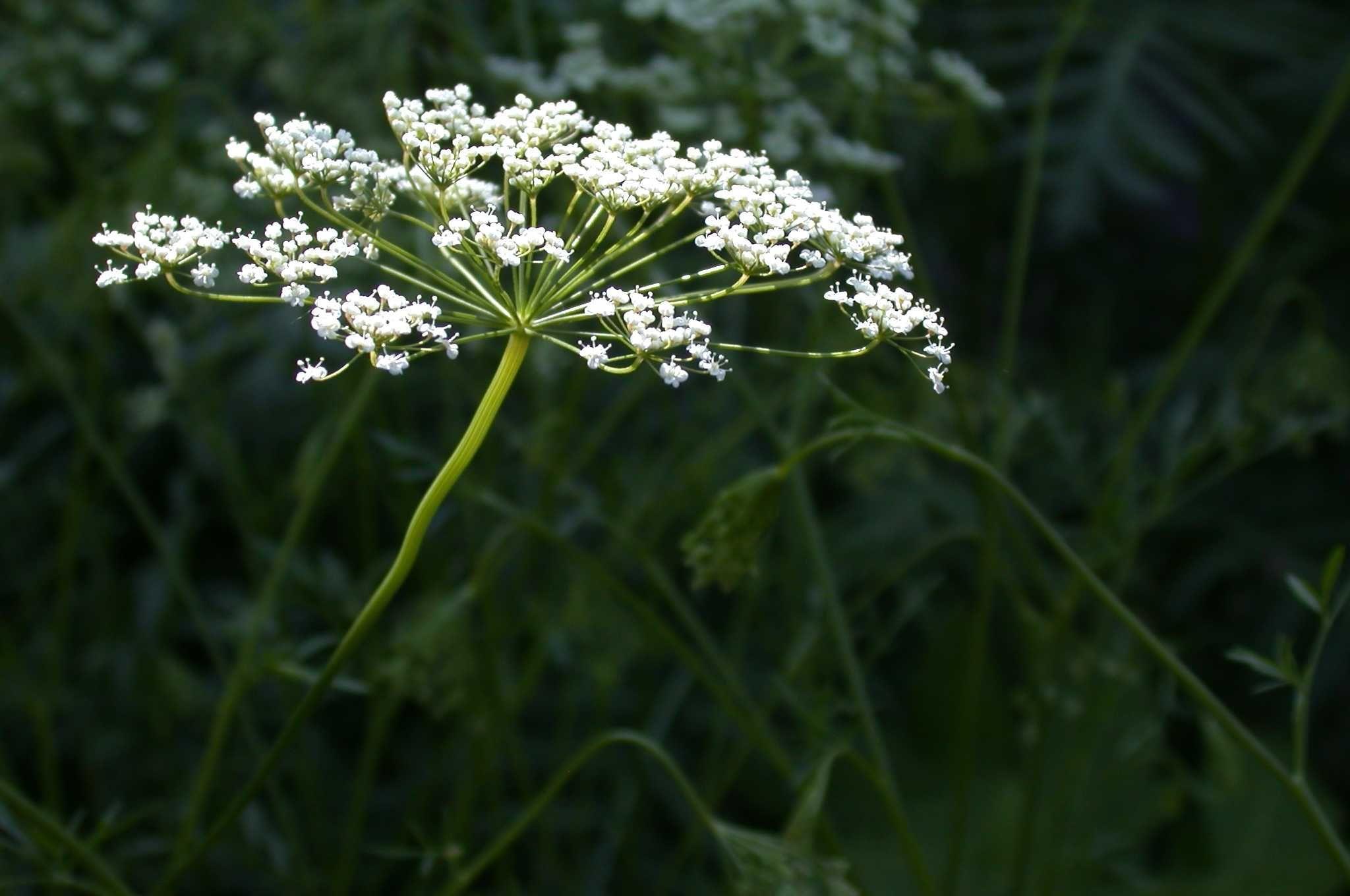 Лекарственные и эфиромасличные культуры стали сельхозпродукцией в России