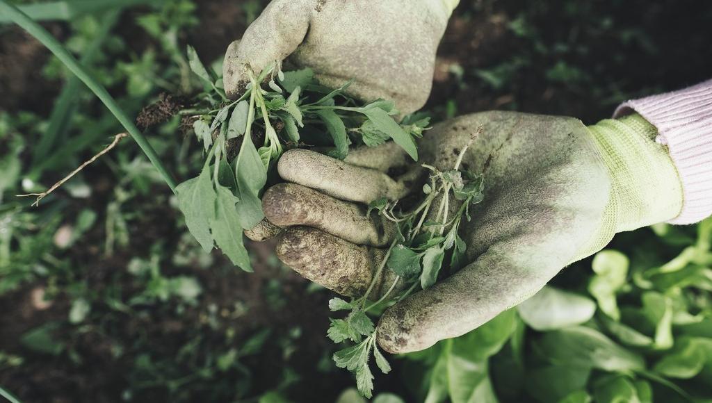 В Управлении Россельхознадзора по Тверской области рассказали о сорных растениях - новости Афанасий