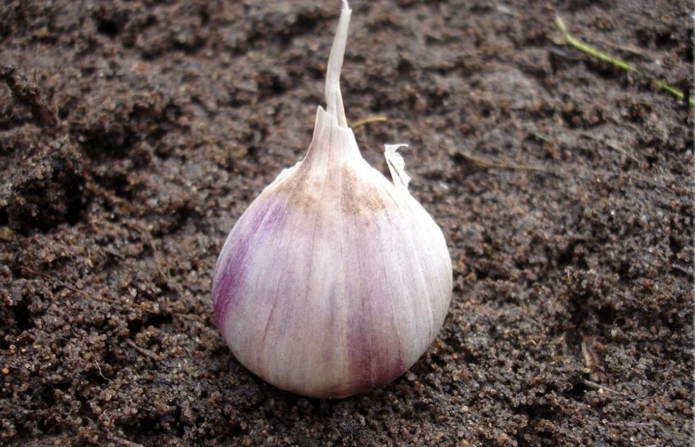Хороший урожай чеснока: рекомендации по посадке в зиму - новости Афанасий