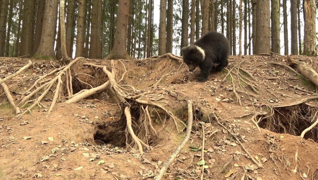 Медвежонок Пужа готовится к зиме в Центре спасения медвежат-сирот в Тверской области - новости Афанасий