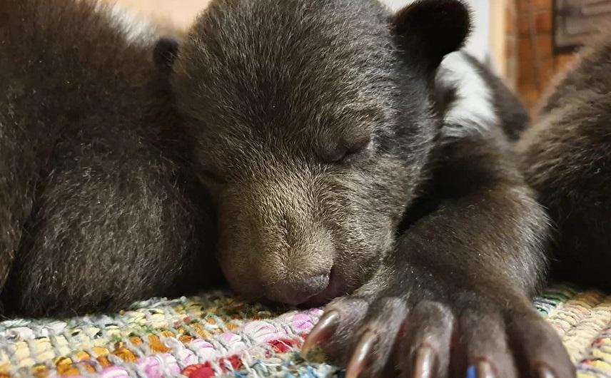 В Тверской области уже девять медвежат-сирот