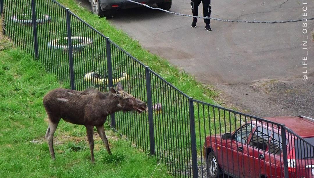 В Твери лось бегал по двору многоэтажки - новости Афанасий