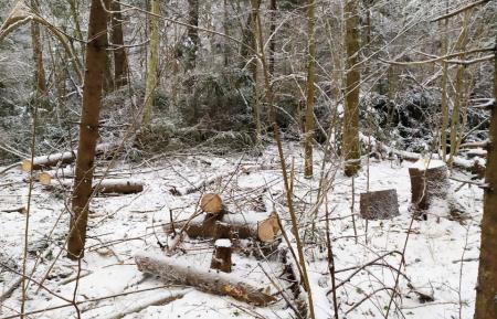 «Черному лесорубу» из Тверской области грозит тюремный срок за срубленные ели - новости Афанасий