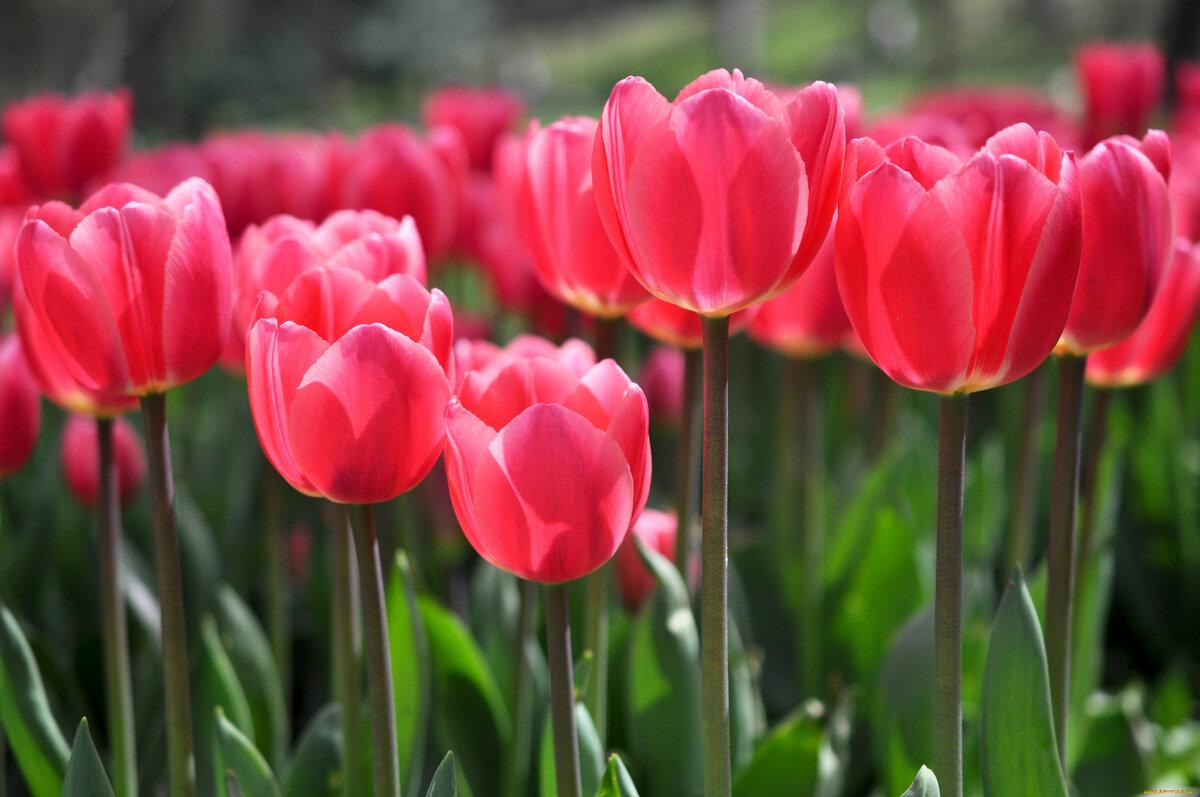 Ботанический сад в Твери проведет традиционный «Бал тюльпанов» онлайн - новости Афанасий