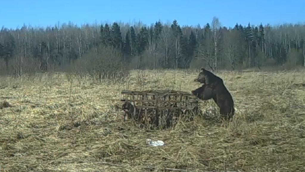 Жителям Тверской области предлагают полюбоваться медведем в дикой природе - новости Афанасий