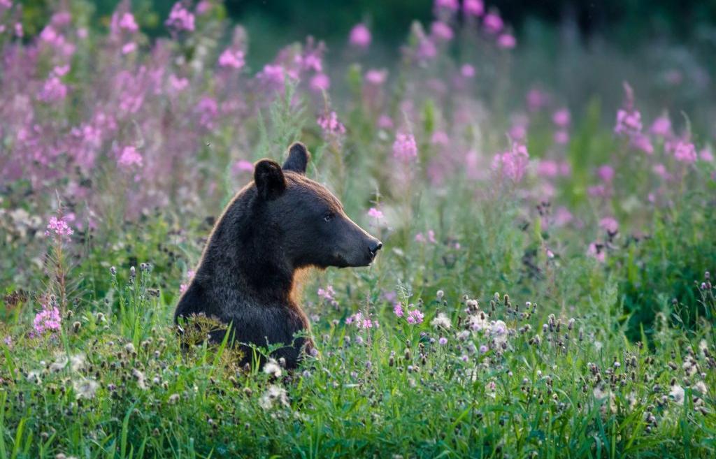 В районе деревни Богунино между Дубной и Кимрами гуляет медведь