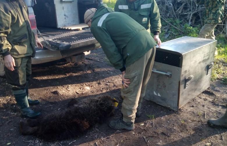 Еще одного медвежонка отправили в приют в Тверскую область - новости Афанасий