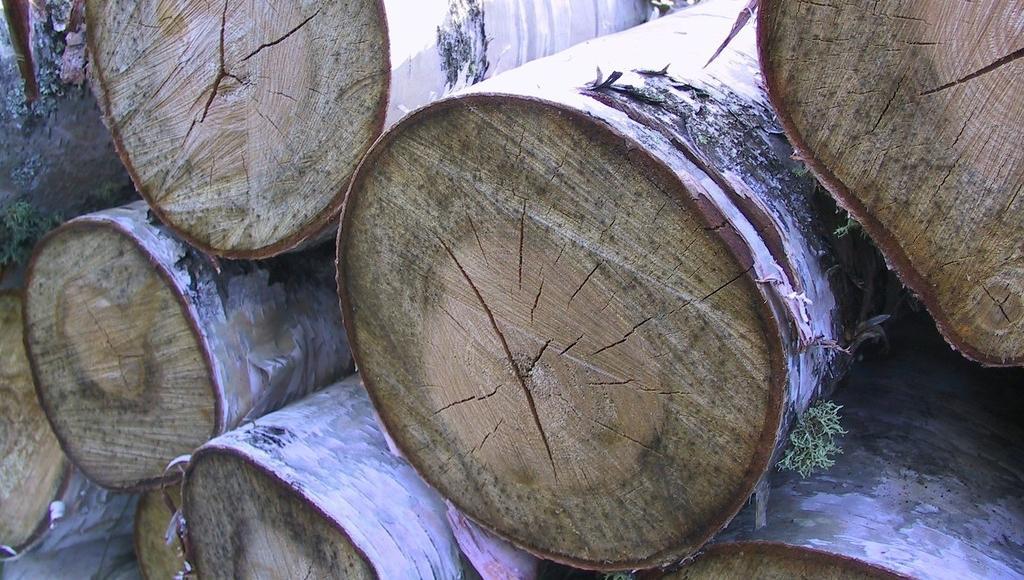 Жителя Тверской области будут судить за незаконную вырубку 57 берез - новости Афанасий