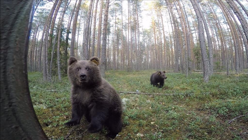Еще два медвежонка отправились из Тверской области в родные леса - новости Афанасий