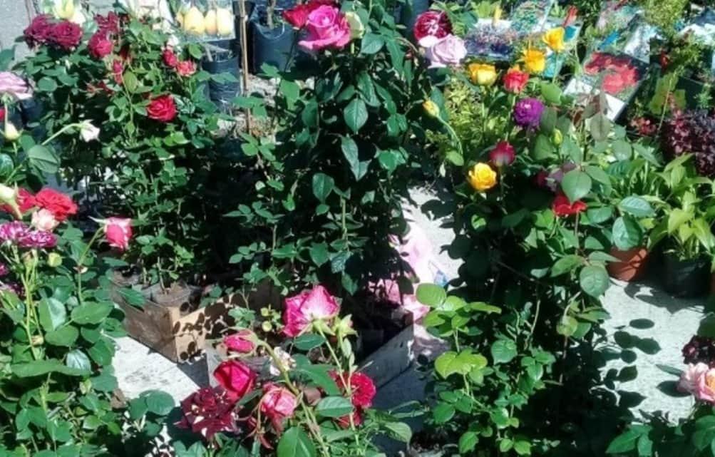 Саженцы роз и плодовых деревьев продают на рынках Тверской области без документов - новости Афанасий