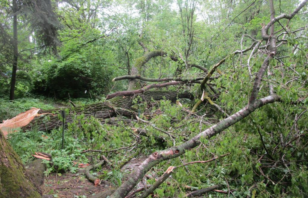 В Твери дождь и ветер сломали самый толстый тополь Ботанического сада