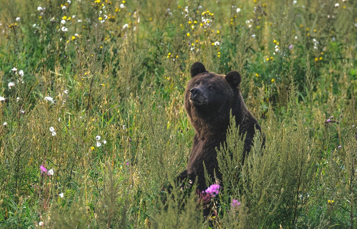 Центрально-лесной заповедник в Тверской области приглашает посмотреть на медведей на овсах