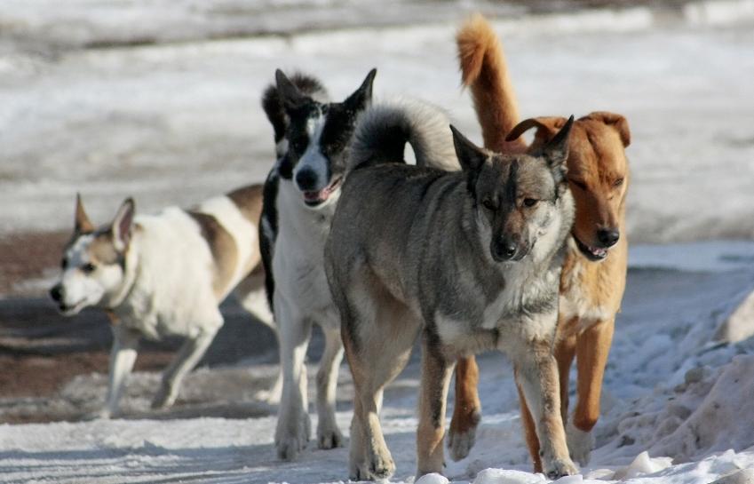 Жители Тверской области снова жалуются на агрессивных собак - новости Афанасий