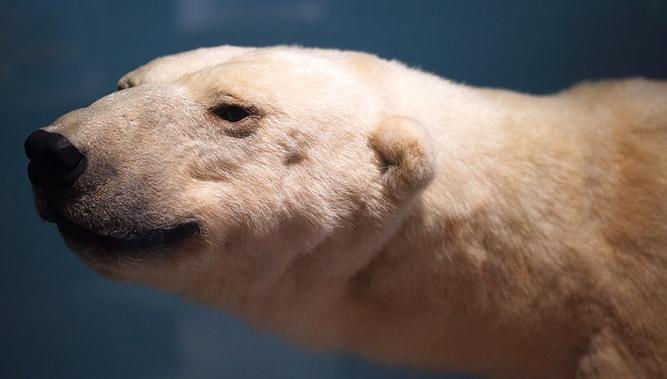 В Твери можно будет встретиться с белым медведем