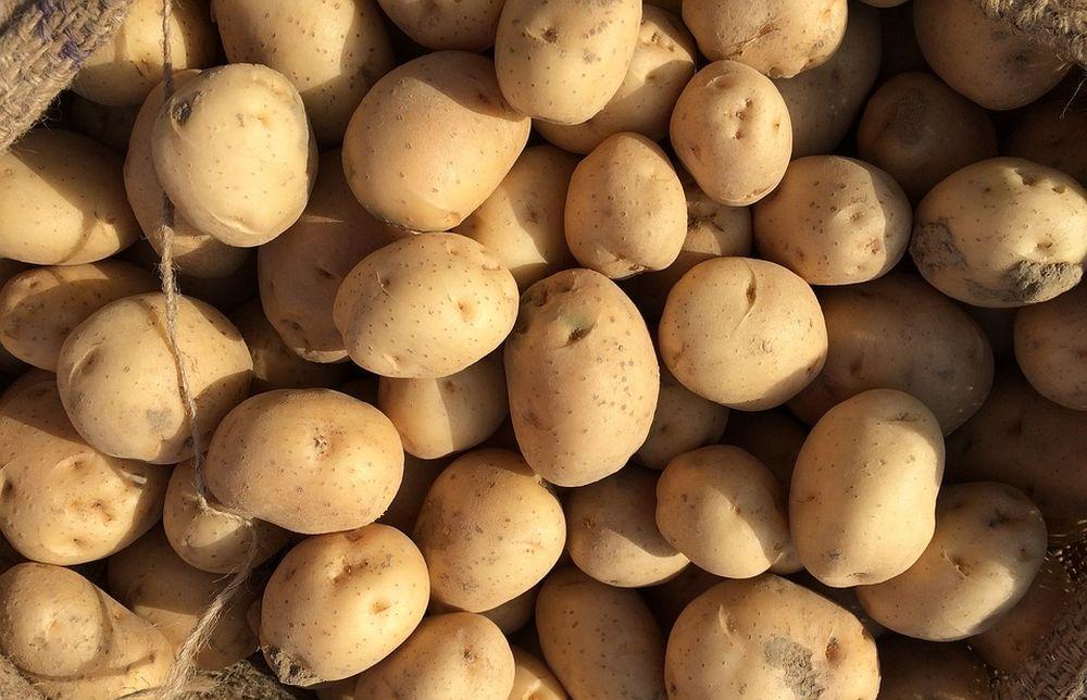 Управление Россельхознадзора напоминает о требованиях к семенному картофелю - новости Афанасий
