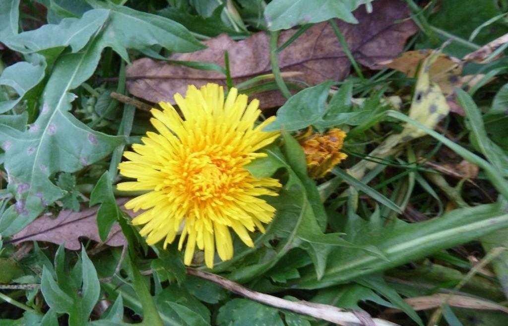 В Тверской области в октябре цветут одуванчики